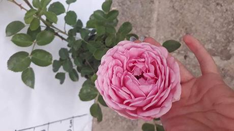 цветя и луковици - Милена