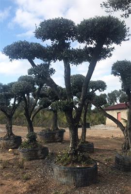оформяне на маслиновите дръвчета според поръчката
