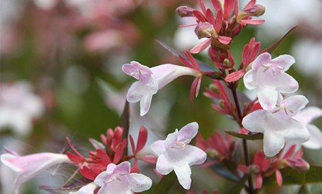 Красиви цъфтящи храсти - абелия