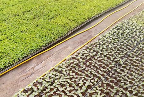 Зеленчукови разсади